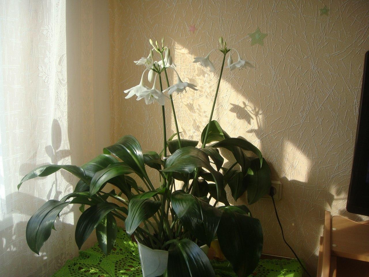 Комнатный цветок эухарис: фото, описание и уход в домашних 59