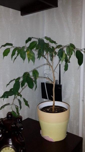 Девочки, подскажите, что с ними делать? Даже деревьями их назвать не могу. Листья постоянно осыпаются, растут как-то криво, что один, что второй. Хотела выбросить, но рука не поднимается. Можно как-то исправить ситуацию и вырастить красивые деревья вот из этого? Вопрос задала Инна Титова