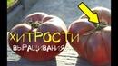 Узнай как вырастить крупные и сладкие томаты! Хитрости выращивания помидор!