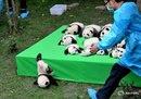 Сотрудник заповедника больших панд в Чэнду(Китай) спешит помочь неуклюжему малышу.