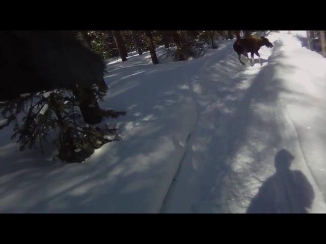 Нападение лося на снегоход