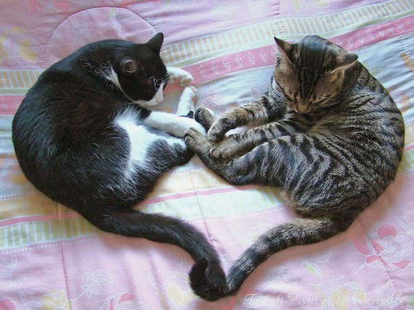 Самые красивые кошки и коты vk