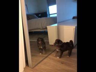 Собака лает на свое отражение mp4