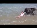 Большая собака «спасает» маленькую девочку, играющую в океане
