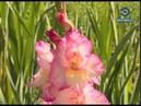 В пензенском ботаническом саду раньше срока распустились гладиолусы