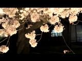 Ночное любование сакурой в Киото. Природа Японии. Японская музыка