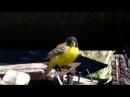 Черноголовая овсянка / Emberiza melanocephala / Black-headed Bunting / Вівсянка чорноголова