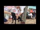 Национальная выставка стаффордширских бультерьеров 8.06.13, г Новосибирск