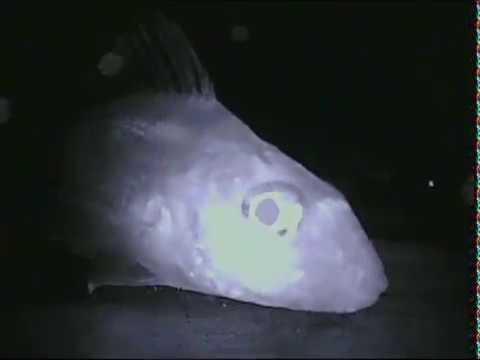 Ерш на безнасадку. Видео с самодельной подводной камеры с подсветкой. В мутной воде.