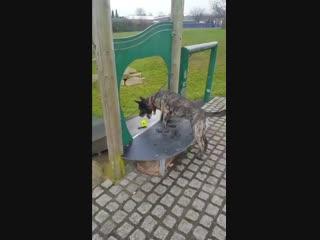 Собака играет в мячик сама с собой