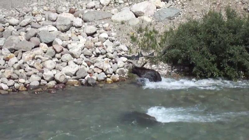 МЕДВЕДЬ И ВОЛК ОХОТЯТСЯ НА ОЛЕНЯ Grizzly Bear & Wolf VS. Baby Elk (Lake Louise, Banff NP)