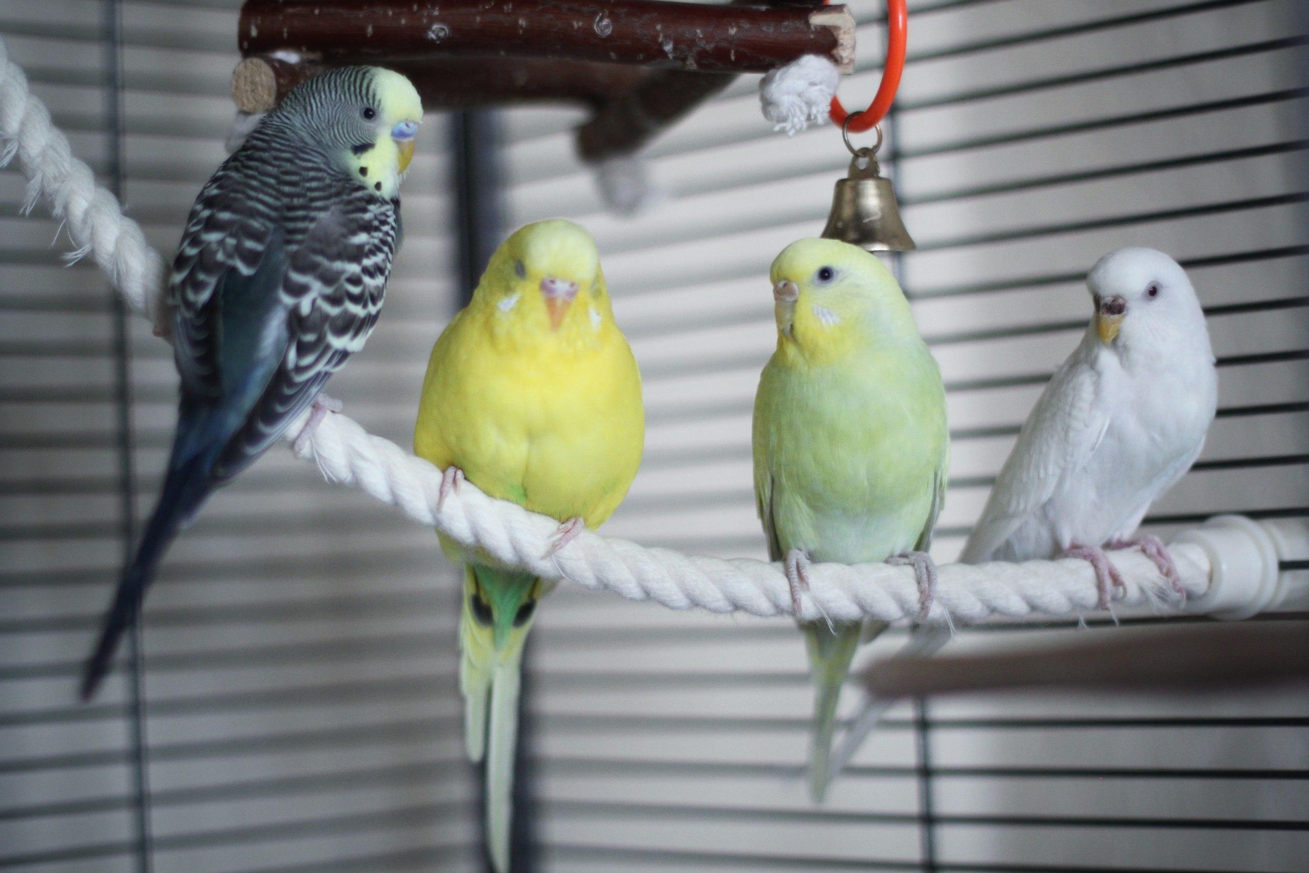 Окрасы волнистых попугаев - цвета, фото разных окрасов 78