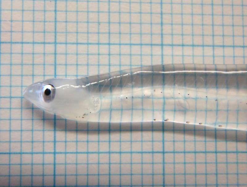 Лептоцефал - особая стадия развития некоторых рыб. В...
