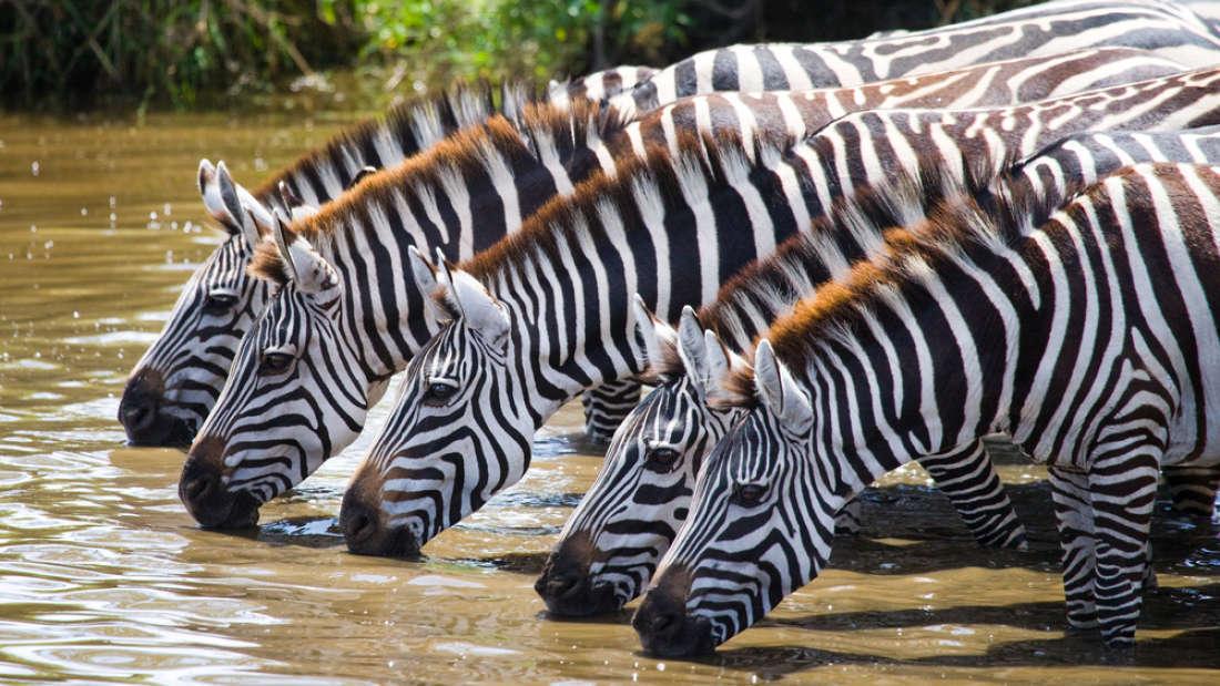 Вы когда-нибудь задумывались над тем, почему зебры полосатые? Новое исследование отвечает на этот вопрос