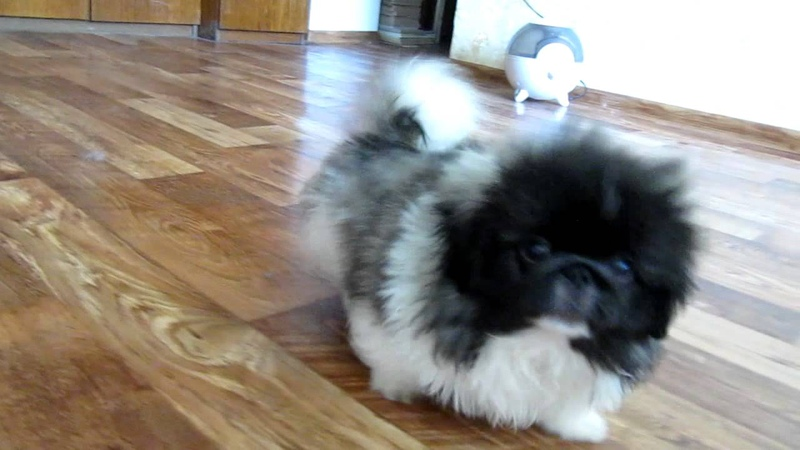 Pekingese puppies for sale...
