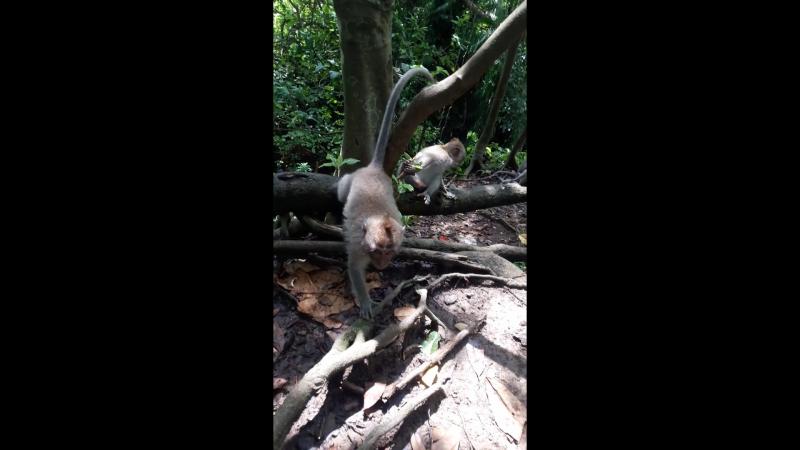 Бали Убуд Лес обезьян