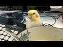 Cockatiel Attempts to Steal Soup From Owner's Bowl 988383