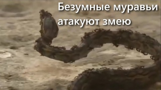 ВЕРСУС! МУРАВЬИ! Армия маленьких монстров напала но огромную змею