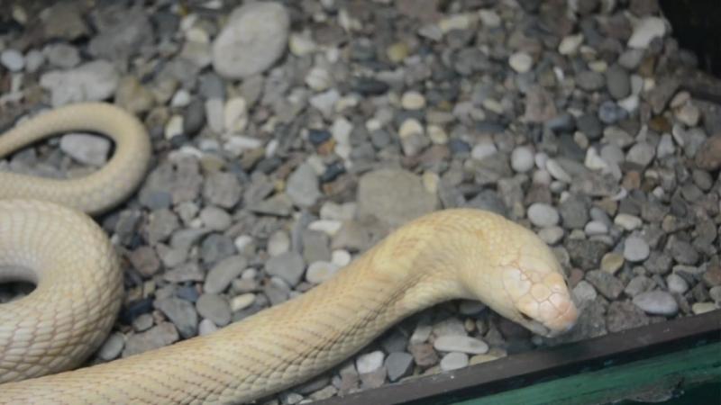 Моноклевая кобра