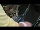Адская кошка 28 Би ненавидит СиСи Реальное ТВ животные фелинология 2013