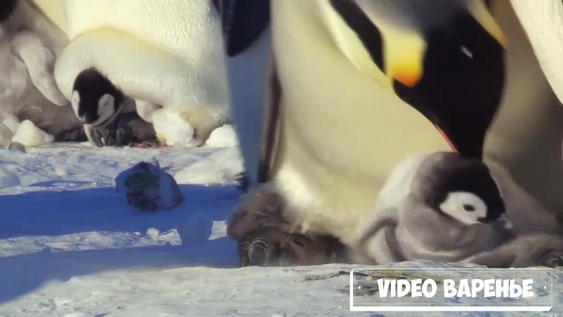 Милые неуклюжие пингвины (VIDEO ВАРЕНЬЕ)