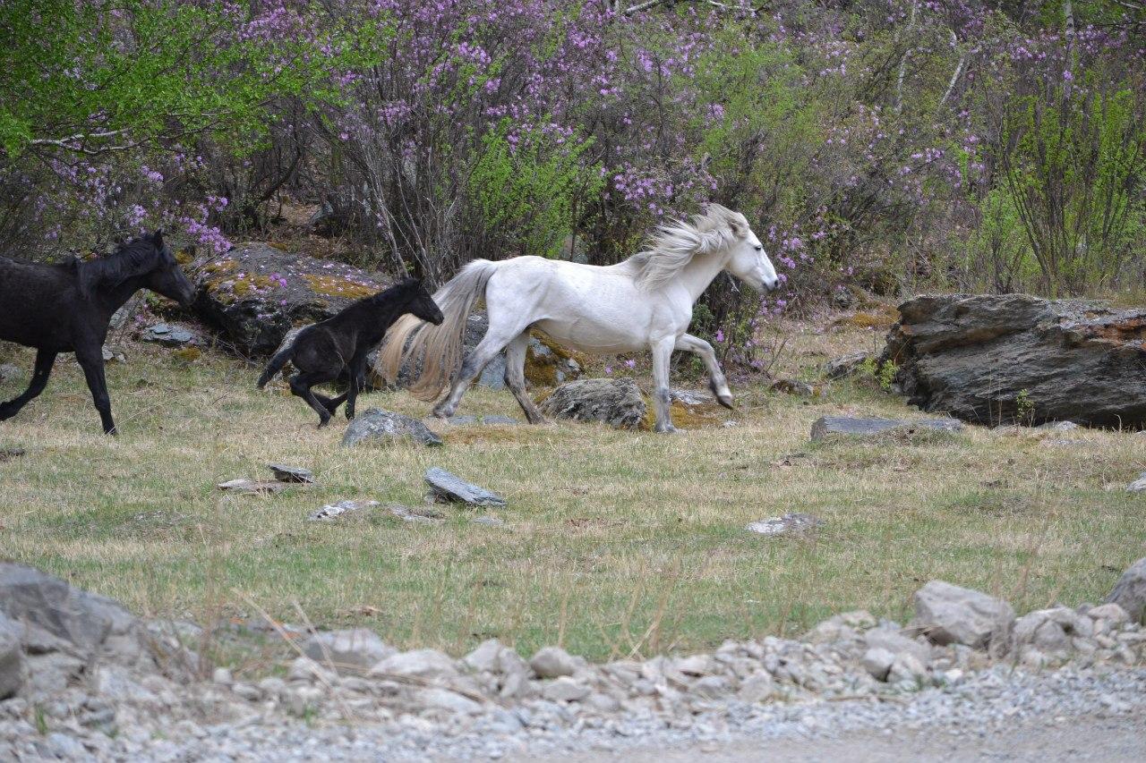 Лошади Горный Алтай