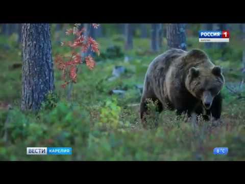 В Медвежьегорском и Калевальском районах отстреливают медведей