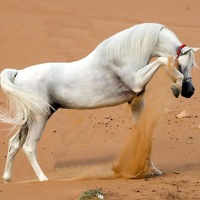 фото белая лошадь.