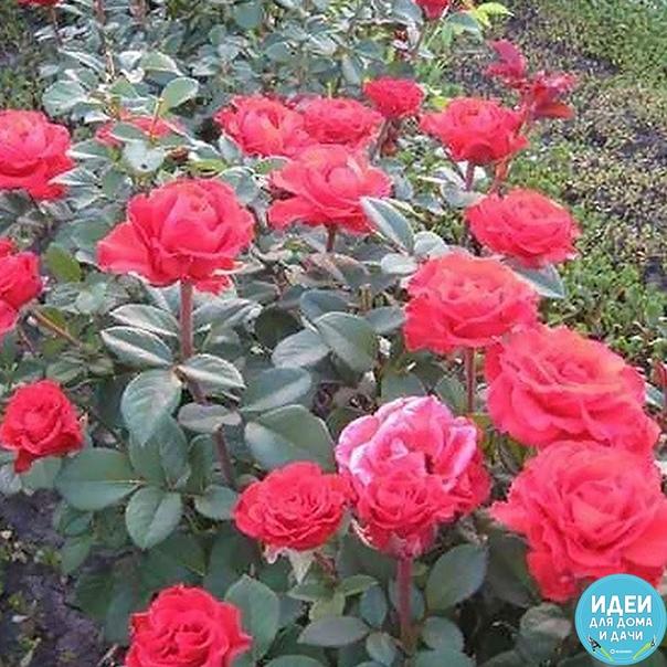 Календарь ухода за розами на весь год