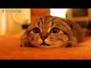 Взгляд в душу, кот гипнотизер