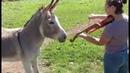 Donkey Loves Sound of Violin