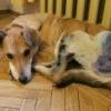 Сбитая собака Алиса. Группа помощи животным.
