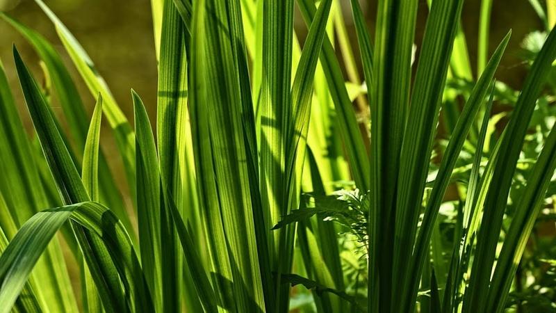 Флора и фауна Аир болотный