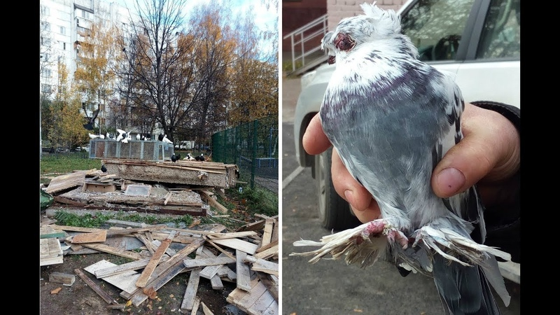 По приказу чиновников варварски уничтожили голубятню с редкими птицами