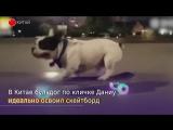 Китайский пес-скейтер собрал сотни тысяч лайков в соцсетях