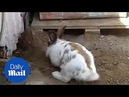Heroic rabbit digs a tiny stuck kitten out of trouble