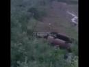 Храбрый пёс в Норильске прогнал медведя