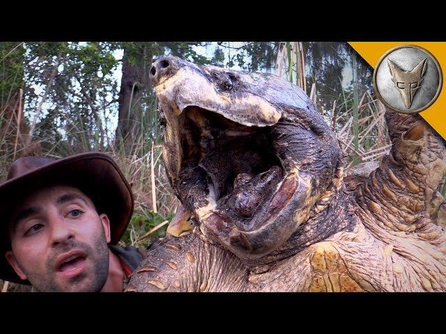 САМАЯ БОЛЬШАЯ ЧЕРЕПАХА.Огромная грифовая черепаха. Brave Wilderness на русском