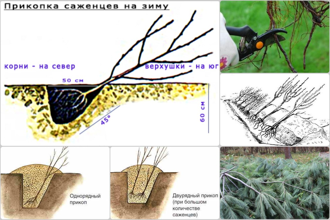 Как сохранить саженцы плодовых деревьев зимой
