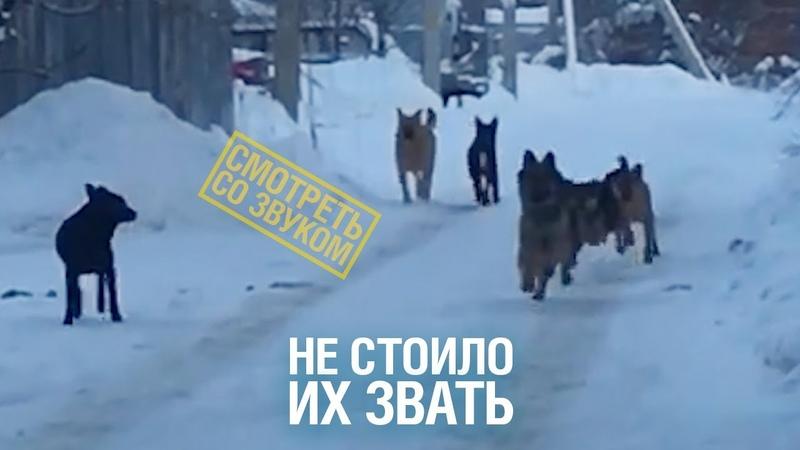 Жителей Чехова терроризирует стая бродячих собак во главе с немецкой овчаркой