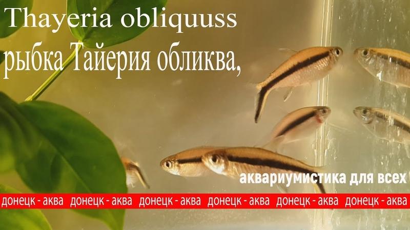 рыбка Тайерия обликва, Thayeria obliquus, содержание , разведение рыбок, aquaristics