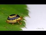 Золотой жук-черепаха