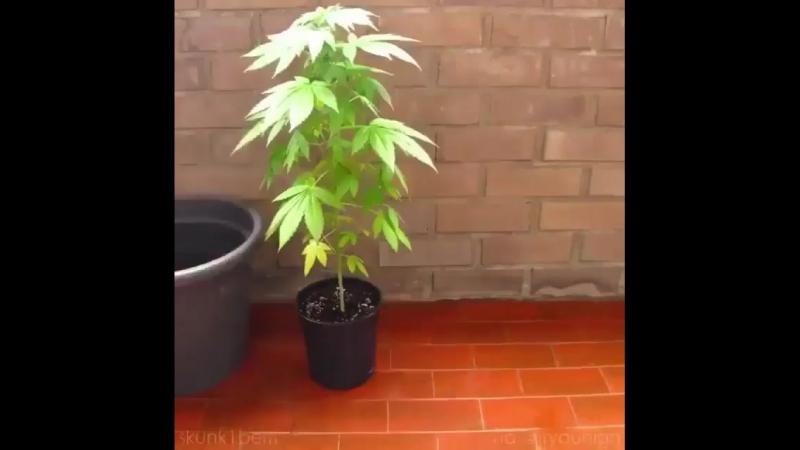Конопля, марихуана, высаживание конопли, дерево, цветок счастье, школьница, мололетка девчонка, студентка, милашка, милая, краси