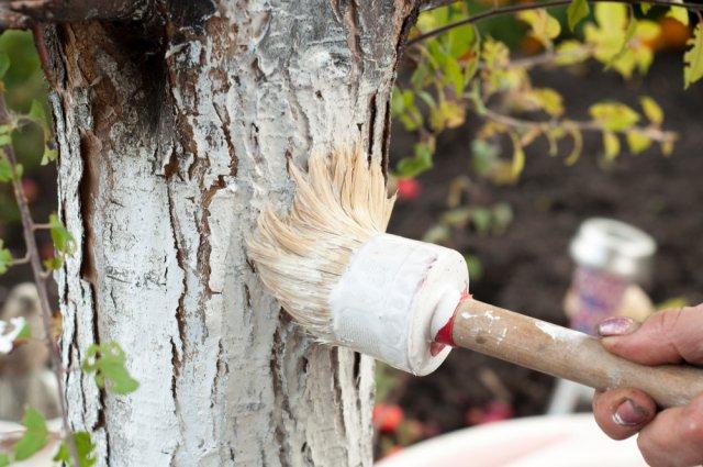 Побелка деревьев известью.