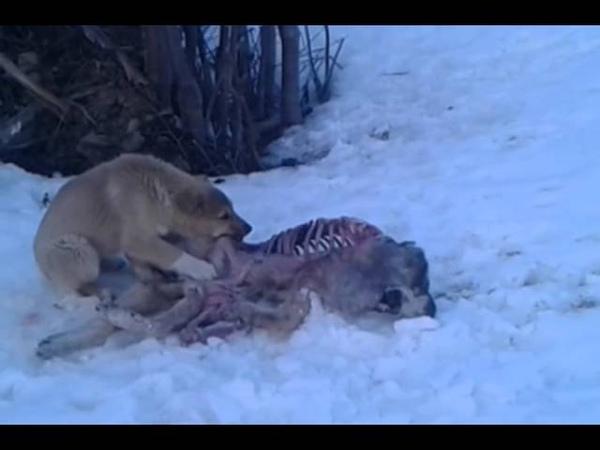 как так можно издеваться над животными Собака от голоду ест другую собаку
