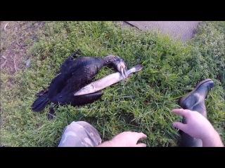 Защита зарыбленных рыбхозов от перелетной птицы