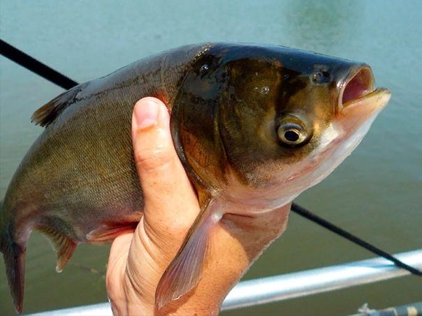 Толстолобик или серебряный карп Толстолобик большая пресноводная рыба, принадлежащая к семейству карповых. Его также называют серебряный карп. Питается «мелочью» обитающей в толще воды,