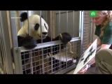 Панда рисует картины