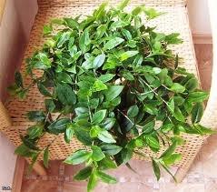 чернаямагия - Магия растений. Магические свойства растений. Обряды и ритуалы. Амулеты и талисманы из растений.  SFBMf-P6PVM