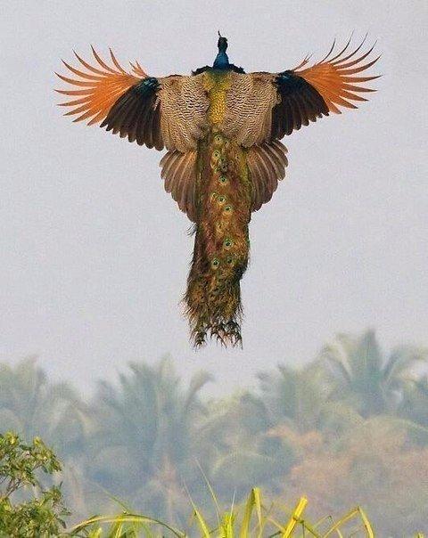 Павлин в полёте